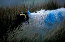 Sheep in Ireland. © Philip Plisson / Pêcheur d'Images / AA02577 - Photo Galleries - Ireland, the green island