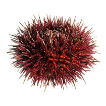 Urchin. © Guillaume Plisson / Pêcheur d'Images / AA08820 - Photo Galleries - Gourmet food