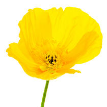 Yellow Poppy. © Guillaume Plisson / Pêcheur d'Images / AA09612 - Photo Galleries - Vegetal