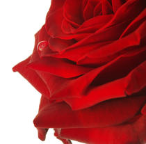Red rose. © Guillaume Plisson / Pêcheur d'Images / AA09631 - Photo Galleries - Vegetal
