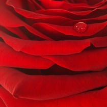 Red rose. © Guillaume Plisson / Pêcheur d'Images / AA09634 - Photo Galleries - Vegetal