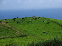 Herd of cows on Faial in the Azores. © Philip Plisson / Pêcheur d'Images / AA10748 - Photo Galleries - Faial and Pico islands in the Azores