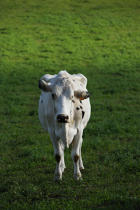 Cow. © Philip Plisson / Pêcheur d'Images / AA10879 - Photo Galleries - Azores [The]