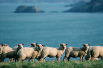 Sheep in edge of sea. © Philip Plisson / Pêcheur d'Images / AA11832 - Photo Galleries - Flora
