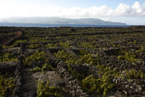 vines in the Azores. © Philip Plisson / Pêcheur d'Images / AA14113 - Photo Galleries - Pico