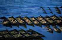 Oyster farming in Brittany. © Guillaume Plisson / Pêcheur d'Images / AA15988 - Photo Galleries - Oyster Farming