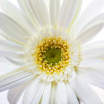 White gerbera. © Guillaume Plisson / Pêcheur d'Images / AA17843 - Photo Galleries - Vegetal