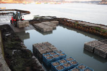 Storage of oysters in oyster site. © Philip Plisson / Pêcheur d'Images / AA18451 - Photo Galleries - Oyster Farming