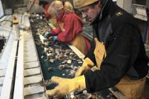 The oysters are sorted and graded. © Philip Plisson / Pêcheur d'Images / AA18455 - Photo Galleries - Oyster Farming