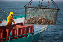 The dredging of oysters in the bay of Quiberon. © Philip Plisson / Pêcheur d'Images / AA18470 - Photo Galleries - Oyster Farming