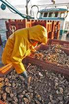 An initial screening to remove oyster predators such as sea stars © Philip Plisson / Pêcheur d'Images / AA18475 - Photo Galleries - Oyster Farming