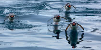Papou penguins. © Philip Plisson / Pêcheur d'Images / AA18651 - Photo Galleries - Antarctica