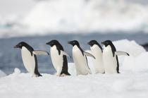 Adelie penguins in Antarctica. © Philip Plisson / Pêcheur d'Images / AA18689 - Photo Galleries - Antarctica