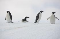 Adelie penguins in Antarctica. © Philip Plisson / Pêcheur d'Images / AA18690 - Photo Galleries - Antarctica