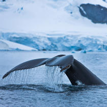 Whale tail. © Philip Plisson / Pêcheur d'Images / AA20413 - Photo Galleries - Antarctica