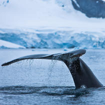 Whale tail. © Philip Plisson / Pêcheur d'Images / AA20414 - Photo Galleries - Antarctica