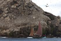 Colony of Gannets on the 7 Islands. © Philip Plisson / Pêcheur d'Images / AA23229 - Photo Galleries - Côtes d'Armor