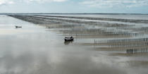 Mussel culture in the bay of Mont Saint-Michel © Philip Plisson / Pêcheur d'Images / AA38224 - Photo Galleries - Aquaculture