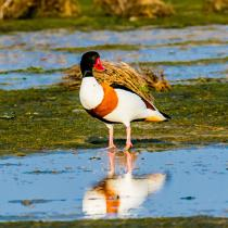 © Philip Plisson / Pêcheur d'Images / AA39610 Duck, Shelduck of Belon - Photo Galleries - Framing